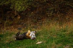 Een koninklijke mannelijke tijger van Bengalen met verschillende yogahoudingen en uitdrukkingen op een groen gras bij ranthambore royalty-vrije stock foto's