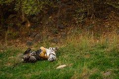 Een koninklijke mannelijke tijger van Bengalen met verschillende yogahoudingen en uitdrukkingen op een groen gras bij ranthambore royalty-vrije stock afbeeldingen
