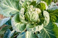 Een koolhoofd groeit omringd en beschermd door gewaaide uit bladeren royalty-vrije stock afbeeldingen