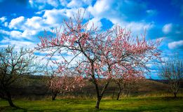 Een kornoeljeboom bloeit in de lente met groen gras en een blauwe die hemel met witte wolken wordt gevuld en andere bomen op de a stock afbeeldingen