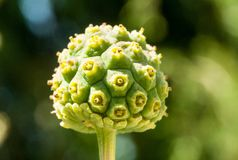 Een kornoeljefruit met een zeer interessante vorm royalty-vrije stock fotografie