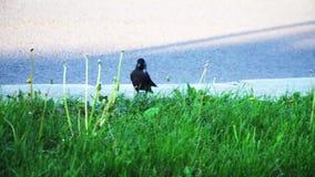 Een kraai loopt door de weg, zijn de vogels dichtbij mensen, groot gevaar stock video