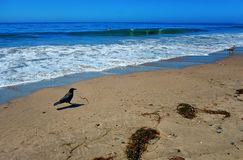 Een kraai op het strand op een oorspronkelijke Santa Barbara-dag met een mens in het water stock foto