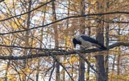 Een kraai zit op een boomtak in het de herfstbos royalty-vrije stock foto