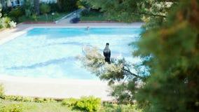Een kraai zit op de achtergrond van de pool op de sparren stock video
