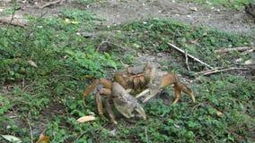 Een krab die aan veiligheid bij de lente op bequia kelderen stock footage
