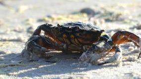 Een krab is onder de stroom van water op het strand van de Zwarte Zee stock videobeelden