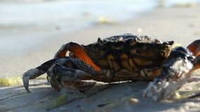 Een krab zit op het zandige strand van de Zwarte Zee Het zich beweegt niet stock videobeelden