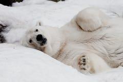 Een krachtig mannetje die imposingly en met zijn gevouwen poten liggen kijken De krachtige ijsbeer ligt in de sneeuw, close-up stock afbeelding