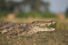 Een krokodil die in de zon liggen stock foto's