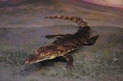 Een krokodil in een terrarium Stock Foto