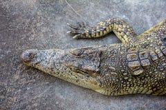 Een krokodil ligt in de zon stock afbeelding