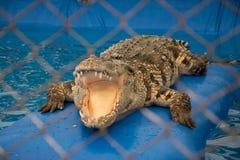 Een krokodil met open kaken stock afbeeldingen