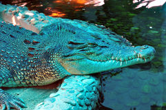 Een krokodil is verblijf naast water Stock Foto