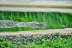 Een krokodil in water wordt verborgen dat royalty-vrije stock fotografie