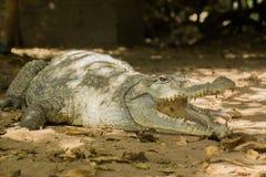 Een krokodil zonnebaadt in de hitte van Gambia, West-Afrika Royalty-vrije Stock Fotografie