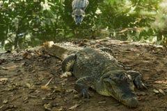 Een krokodil zonnebaadt in de hitte van Gambia, West-Afrika Stock Afbeeldingen