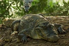 Een krokodil zonnebaadt in de hitte van Gambia, West-Afrika Stock Foto's