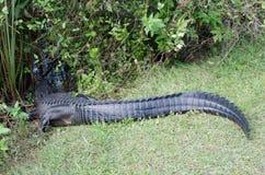 Een krokodillestaart Stock Foto's