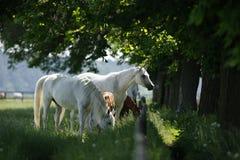 Een kudde die gras op gebied eten Royalty-vrije Stock Afbeeldingen