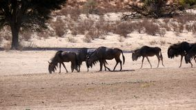 Een kudde die van GNU zich langs een dor rivierbed in het Grensoverschrijdende Park van Kgalagadi tussen Namibië en Zuid-Afrika b royalty-vrije stock afbeelding