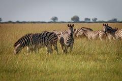 Een kudde die van Zebras het gras eten Stock Foto