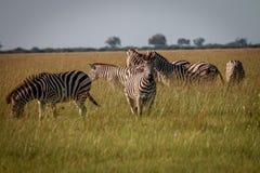 Een kudde die van Zebras het gras eten Stock Foto's