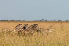 Een kudde die van Zebras het gras eten Royalty-vrije Stock Fotografie