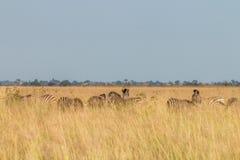 Een kudde die van Zebras het gras eten Stock Fotografie