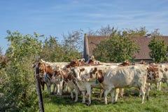 Een kudde rode en witte volwassen koeien die achter een omheining, met comfortabele halskraag samen wachten, royalty-vrije stock afbeeldingen