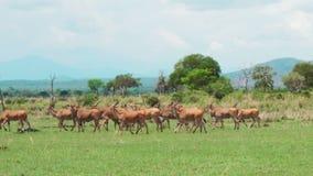 Een kudde van Afrikaanse antilopen loopt de Afrikaanse savanne