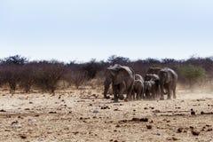 Een kudde van Afrikaanse olifanten die bij een modderige waterhole drinken Royalty-vrije Stock Fotografie