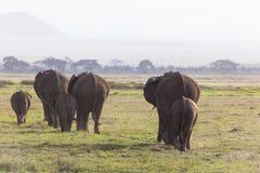 Een kudde van Afrikaanse Olifanten (loxodonta) loopt terug van moerasland aan droog land Stock Foto's