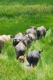 Een kudde van buffels Royalty-vrije Stock Foto