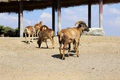 Een kudde van de Schapen van Barbarije in safaripark Royalty-vrije Stock Fotografie