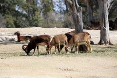 Een kudde van de Schapen van Barbarije in safaripark Stock Afbeelding