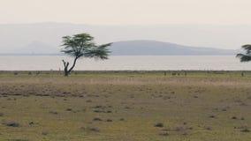 Een Kudde van Gazelles van een Roofdier op de Afrikaanse Savanne snel in werking die worden gesteld die stock videobeelden