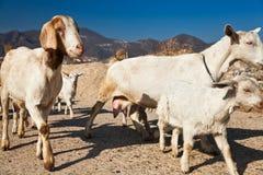 Een kudde van geit Stock Afbeelding