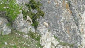 Een kudde van geiten daalt de rotsen op zoek naar beter voedsel stock footage