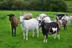 Een kudde van geiten in Ierland stock foto
