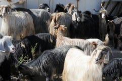 Een kudde van geiten op een landbouwbedrijf in Oost-Anatolië, Turkije royalty-vrije stock foto's