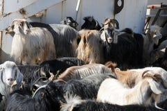 Een kudde van geiten op een landbouwbedrijf in Oost-Anatolië, Turkije stock foto