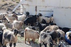 Een kudde van geiten op een landbouwbedrijf in Oost-Anatolië, Turkije stock afbeelding