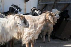Een kudde van geiten op een landbouwbedrijf in Oost-Anatolië, Turkije stock afbeeldingen