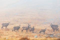 Een kudde van gemzen gaat een bergpas over Royalty-vrije Stock Foto
