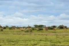 Een kudde van giraffen Stock Foto's