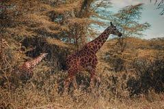 Een kudde van giraffen bij Meer Nakuru, Kenia stock afbeelding