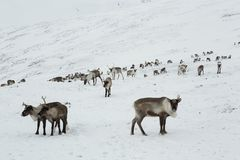 Een kudde van herten in de sneeuwbergen royalty-vrije stock fotografie