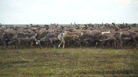 Een kudde van herten in de toendra Het Yamal-Schiereiland stock footage