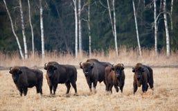 Een Kudde van het Europese Aurochs-Weiden op The Field Vijf Grote Bruine Bison On The Birch Forest Achtergrond Stock Fotografie